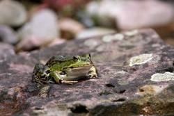 Der Prinz im Frosch-Gewand