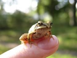 Frosch oder König