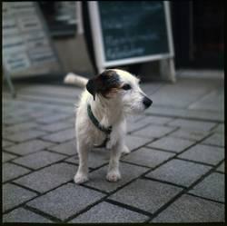 Jack Russell Terrier ...oder Mischling? :-)