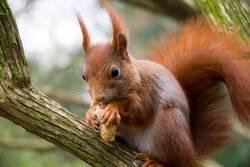 Eichhörnchen frusst eine Erdnuss