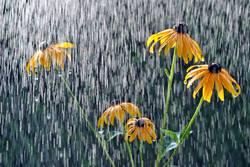 Es regnet auf den SonnenHut