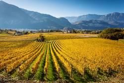 Vineyards in Trento in autumn