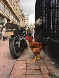Chicken Street Scene in Bogota Columbia
