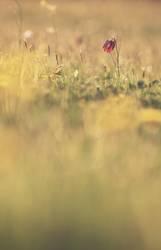 Fritlilaria meleagris