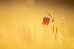 Schachblume im Sonnenmeer
