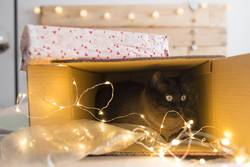 cat inside a christmas gift box with lights