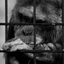 Schimpansen brauchen Freiheit lll