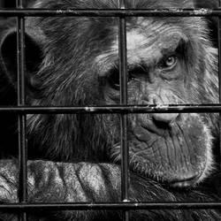 Schimpansen brauchen Freiheit Vl
