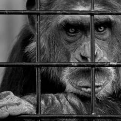 Schimpansen brauchen Freiheit lV