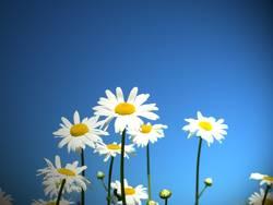 gänseblümchen im blauen