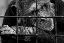 Schimpansen brauchen Freiheit ll