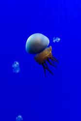 Jellyfish on blue background.