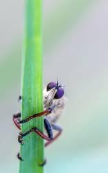 eine Raubfliege beobachtet skeptisch einen Fotografen