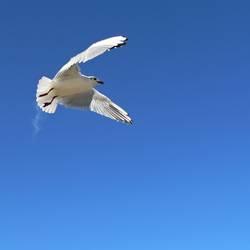 Grosse Freiheit: Silberkopfmöwe ( Larus novaehollandia )
