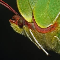 weiblicher Zitronenfalter ( Gonepteryx rhamni )