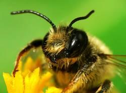 Erdbiene ( Andrena florea ) 01