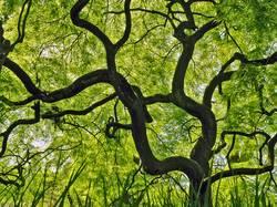 Grüner Fächerahorn : ( acer palmatum )