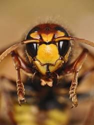 Gestatten: Horn, Horn Isse( Vespa crabro )