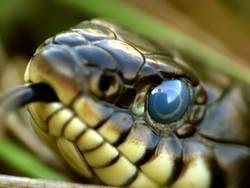 Deine blauen Augen....: Ringelnatter (Natrix natrix)