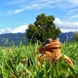 Grasfrosch : Der wahre König schaut ins Land_02
