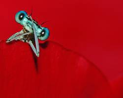 Blau auf Rot : Blaue Federlibelle (Platycnemis pennipes)