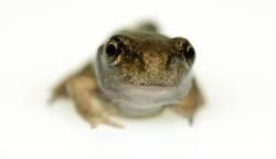 Klein und allein: Grasfrosch (Rana temporaria)