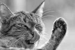 Katze putzt Nase