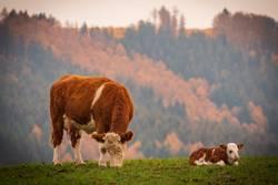 Kuh mit Kalb im Herbst