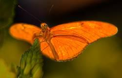 Julia Butterfly Glowing in the Sunlight