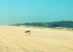 Einsamer Dingo