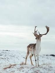 Gefleckter Hirsch auf Weiß