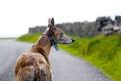 dog, Hund, perro, greyhound, Windhund, galgo;