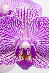 Phalaenopsis Bluete Macro