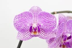 Phalaenopsis violett weiß gesprenkelt