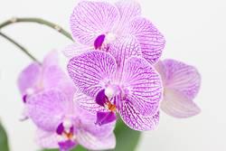 Orchideen vor einem weissen Hintergrund