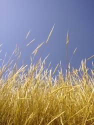 Field of straw
