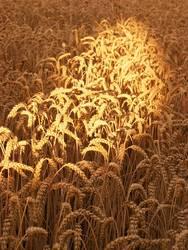 Korn im Licht