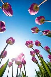 Tulpen Tulpen Tulpen