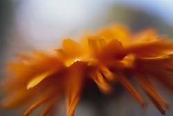 Orange-gelbe Blume
