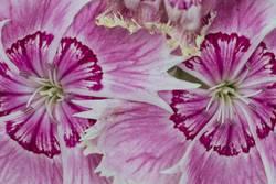 Flower-Power-Blüten