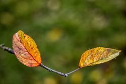 Apfelbaumherbstblätter