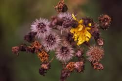 Blüte bis verwelkt