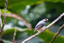 Java sparrow in a tree, beautiful bird with nice colors
