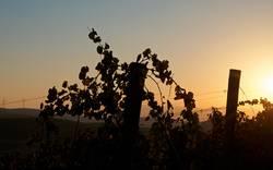 Sunset at vineyards