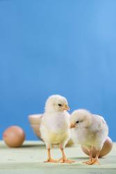 two chicks, eggs and bowl