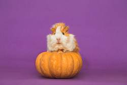 Adorable guinea pig with pumpkin on a purple background
