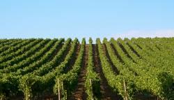 Vineyards landscape in Sicily