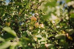 Äppels