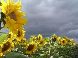 Sunflower&Clouds