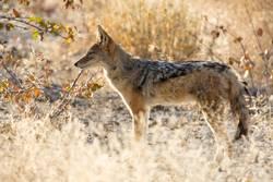 Schakal Namibia